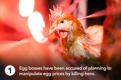 5 things the egg industry doesn't tell you | Nature Animals humankind | Scoop.it