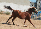 Accueil | Arabian Horses | Scoop.it