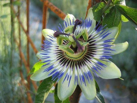 La flor de la pasión que os gusta y para qué utilizarla | Agua | Scoop.it