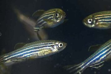 Zebrafish Model of a Learning and Memory Disorder Shows Better Way to Target Treatment | Social Neuroscience Advances | Scoop.it