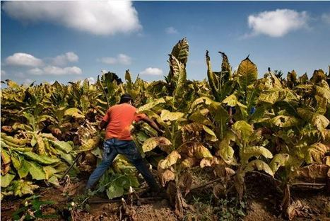 US: Tobacco Growers Act to Protect Child Workers - Human Rights Watch | NGOs in Human Rights, Peace and Development | Scoop.it