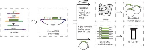 Linear DNA for Rapid Prototyping of Synthetic Biological Circuits in an Escherichia coli Based TX-TL Cell-Free System | SynBioFromLeukipposInstitute | Scoop.it