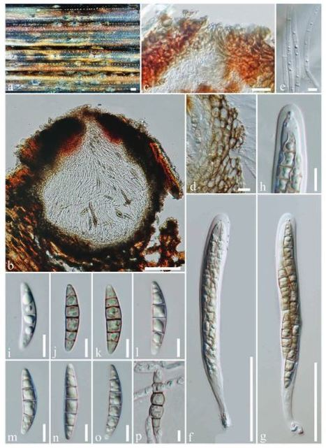Equiseticola gen. nov . ( Phaeosphaeriaceae ), from Equisetum sp. in Italy | ABD-ELSALAM | Phytotaxa | Cereal and Biotrophic Pathogens | Scoop.it