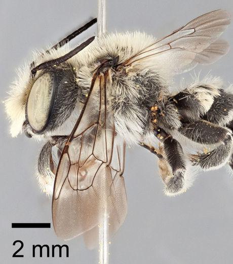 Une nouvelle espèce d'abeille solitaire découverte au Texas | Abeilles, intoxications et informations | Scoop.it