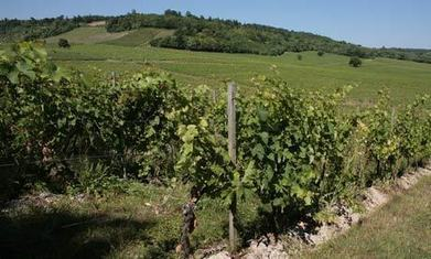 UK vineyards enjoy bumper crop in 'perfect year' | A first draft of history | Scoop.it