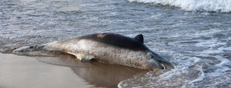 #Dolphins #Deaths #Continue on the East Coast ~ Occurred before! Pls read below | Rescue our Ocean's & it's species from Man's Pollution! | Scoop.it