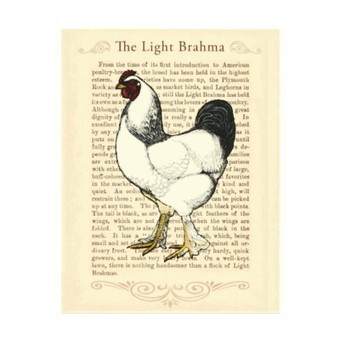 Light Brahma Rooster Vintage Country Classic Custom Letterhead from Zazzle.com | Designs by ANTIQUE IMAGES | Scoop.it