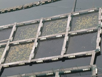 Farmed Fish Production Overtakes Beef | Aquaculture | Scoop.it