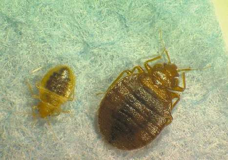 New label on bedbugs proposed | What Do Bed Bugs Look Like | Scoop.it