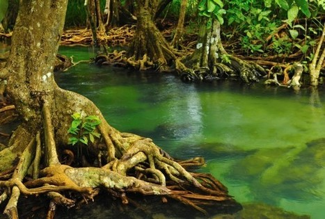 Tropical Mangrove Forests Must Be Saved | Sustainable imagination | Scoop.it
