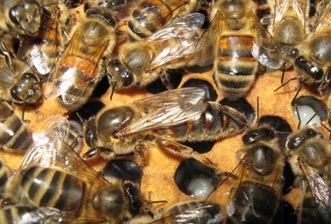 Écoutez le mystérieux chant des reines abeilles - Le Figaro | Abeilles, intoxications et informations | Scoop.it