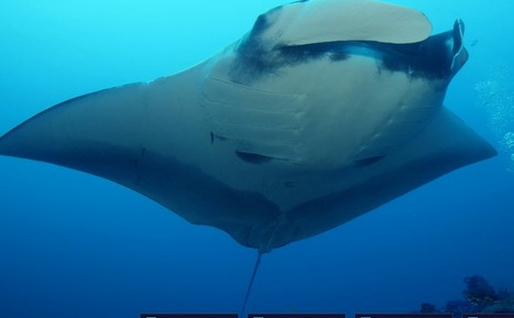 Andreas Marshall : queen of Mantas, reine des raies mantas | Rays' world - Le monde des raies | Scoop.it