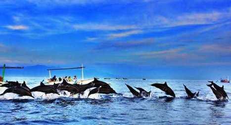 Paket Tour Dolphin Bali, Tour Melihat Lumba-Lumba di Lovina   fastatour   Scoop.it