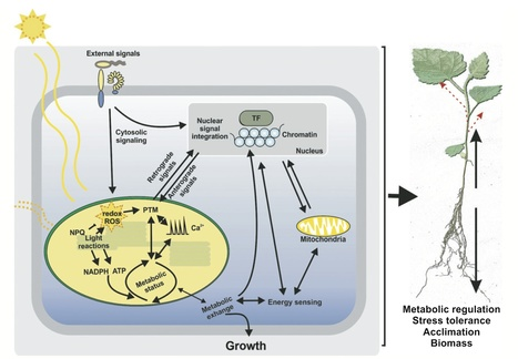 New Phytologist: Integration of photosynthesis, development and stress as an opportunity for plant biology (2015) | Plants and Microbes | Scoop.it