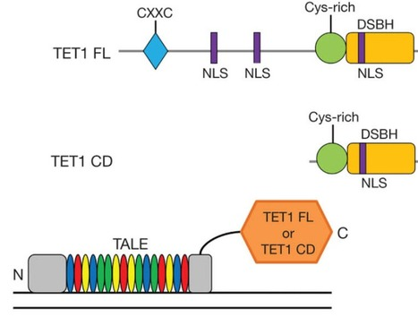 Targeted DNA demethylation and activation of endogenous genes using programmable TALE-TET1 fusion proteins - Nature Biotech. | javierar | Scoop.it