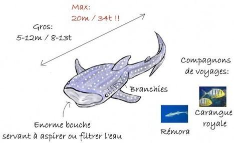 Requin baleine, le plus gros poisson du monde ☺ Couleurs d'Aurore | My topics | Scoop.it