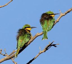 Observer les oiseaux sur les hauts plateaux éthiopiens   Les oiseaux au gré du vent