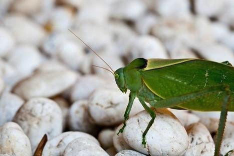 La Unión Europea regula la venta de insectos y algas como alimentos. ¿Será a partir de ahora la comida del futuro? | Bichos en Clase | Scoop.it