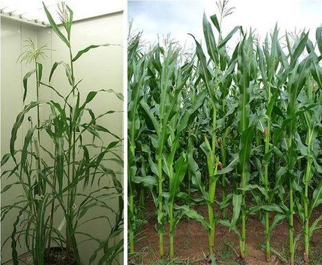 ScienceShot: What Did Corn's Ancestor Really Look Like? | Erba Volant - Applied Plant Science | Scoop.it