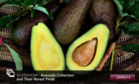 How Far Would You Travel for a Rare Breed of Avocado? | Agricultural Biodiversity | Scoop.it