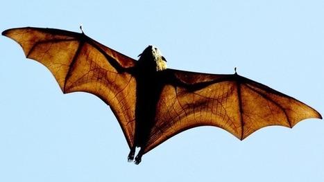 Australians too relaxed about bat virus | Virology News | Scoop.it