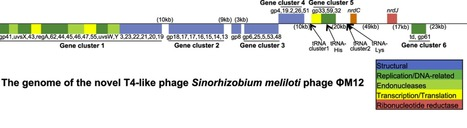 The genome, proteome and phylogenetic analysis of Sinorhizobium meliloti phage ΦM12, the founder of a new group of T4-superfamily phages | Microbiology | Scoop.it
