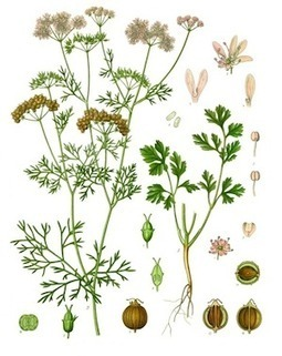 The Health Benefits of Cilantro - Global Healing Center   Natural Health   Scoop.it
