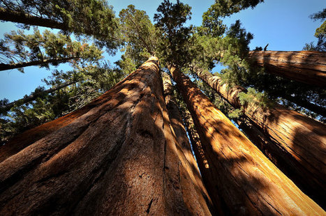 How Is A 1,600-Year-Old Tree Weathering California's Drought? | Tree News | Scoop.it