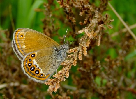 Découverte d'un papillon rare dans le Jura suisse | EntomoNews | Scoop.it