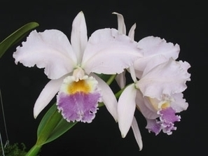 Exposição de orquídeas é atração em São Paulo no fim de semana | Campinas.com.br | Orquidário | Scoop.it