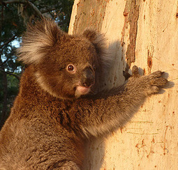 News | The University of Sydney Could this mean GM Koala's in the future? | GMO GM Articles Research Links | Scoop.it