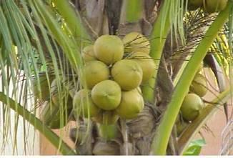 Spotlight: How to bottle coconut water | International Business Development | Scoop.it
