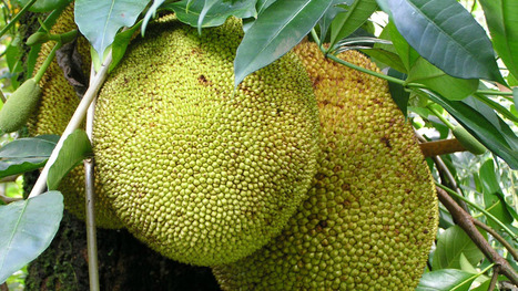"This huge, ugly fruit is a surprisingly good meat substitute (""it's more than just a dessert"") 