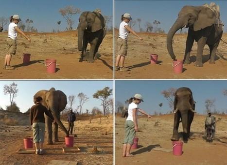 Elefantes entendem gestos humanos, indica pesquisa - Globo.com   Science, Technology and Society   Scoop.it