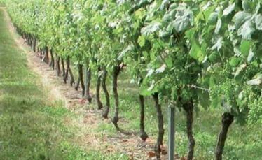 Vendanges 2015 : les premières estimations françaises en infographies   Le vin quotidien   Scoop.it