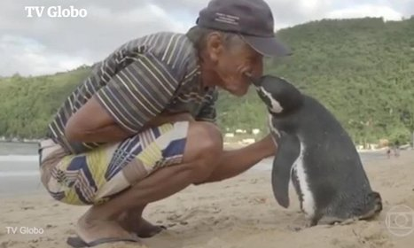 VIDEO: Penguin migrates each year to be reunited with man who saved its life | Coffee Break Ezine | Scoop.it