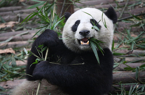 Secret Life of Pandas Revealed by Electronic Stalking : DNews | New inventions | Scoop.it