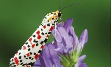 Exotic migrant moths invade Britain under cover of darkness / Migration automnale de papillons de nuit rares en Angleterre | EntomoNews | Scoop.it