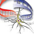 Neurons in youth   Early Brain Development   Scoop.it