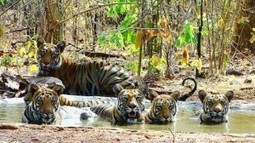 Top Wildlife Destinations in India | Tadoba Tiger King Resort | Tadoba Tiger King Resort | Scoop.it