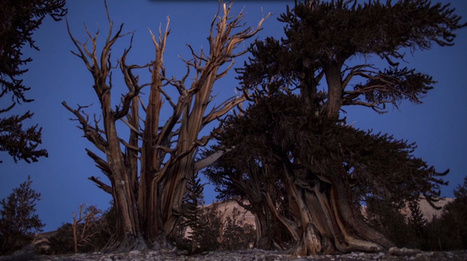 What can California's ancient bristlecone pines tell us about climate change? - 89.3 KPCC | Ancient Origins of Science | Scoop.it