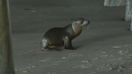 Sea lion pups washing ashore in California test capacity of rescue network (+video) | Climate change challenges | Scoop.it