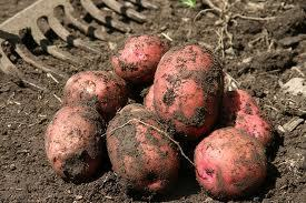 Potato growers in Wales face serious challenges | News | Farmers Guardian | The Barley Mow | Scoop.it