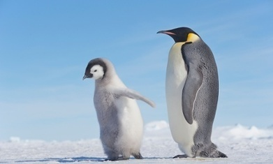 Antarctica today: conditions perfect for penguins, unlike last ice age, study ... - The Guardian | Antarctica | Scoop.it