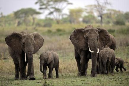Tanzania's elephant population down two-thirds since 1976 | practice | Scoop.it