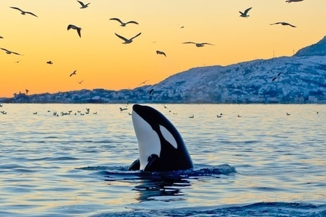 6 Ways You Can Help Save #Captive Killer #Whales Right Now | Rescue our Ocean's & it's species from Man's Pollution! | Scoop.it