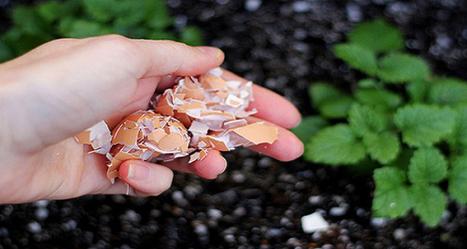 Pourquoi vous devriez mettre les coquilles d'oeufs dans votre jardin! | Jardin Potager Biologique | Scoop.it