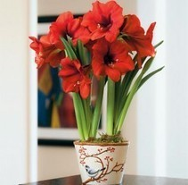 10 Christmas or Holiday Plants for your Home - Christmas Gifts   Christmas at home   Scoop.it