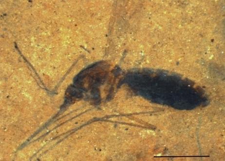 Le plus ancien fossile de moustique contenant du sang découvert | EntomoNews | Scoop.it
