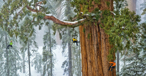 Sequoias: Scaling a Forest Giant - Pictures, More From National Geographic Magazine | Forestry Conservation | Scoop.it